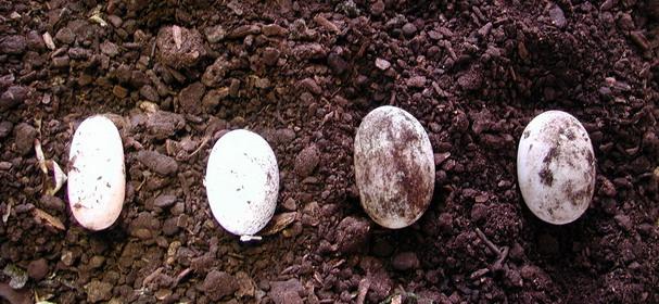befruchtete eier essen