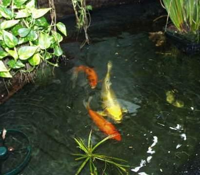 Koi auf for Was fressen fische im teich