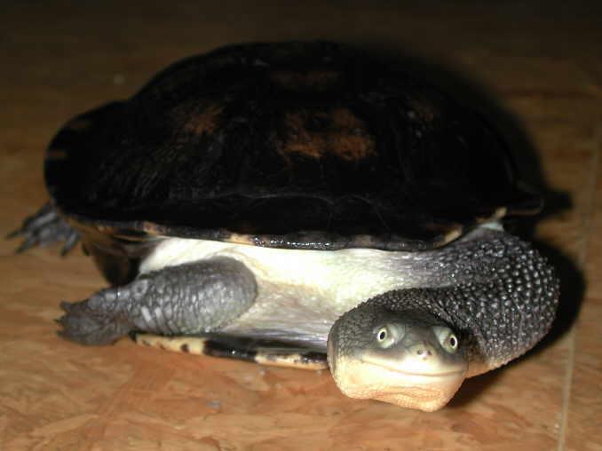 Tartaruga col collo di serpente su tartarughe for Acquario esterno per tartarughe